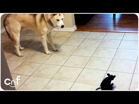 Husky Dog Doesn't Like Halloween Toy Decoration