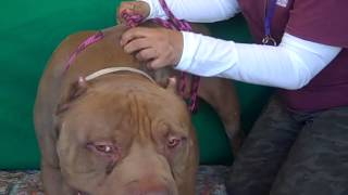 A4873060 Teddy | Bull Mastiff/American Pit Bull Terrier Mix