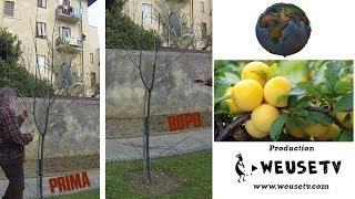Botanica - Potatura giovane susino e taglio marze per innesto (pt 1) #pruning #grafting