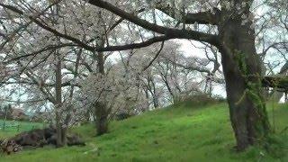 上杉景勝が慶長5年(1600)に「神指城」を築こうとした遺構で、土塁の上に...