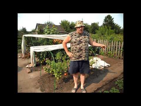 Безрассадные помидоры, 17 августа