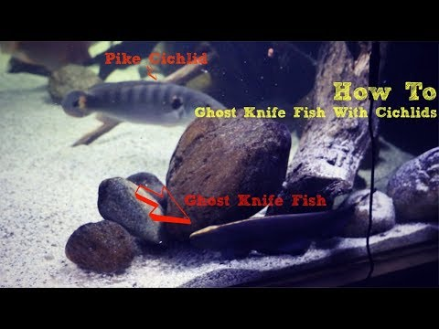 The Secret To Keeping A Ghost Knife Fish With Cichlids