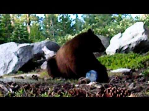 Bear Encounters Bear Vault