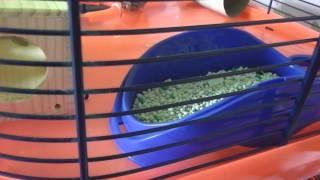 Hamster Potty Training