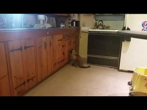 Boobers The Siamese Cat Freaks Out