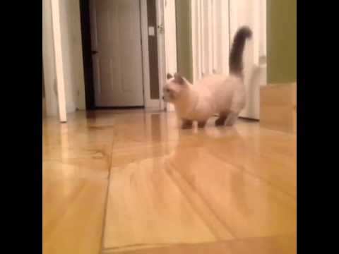 More Munchkin Kitten Yoda Vine by Caitlin Williams - YouTube