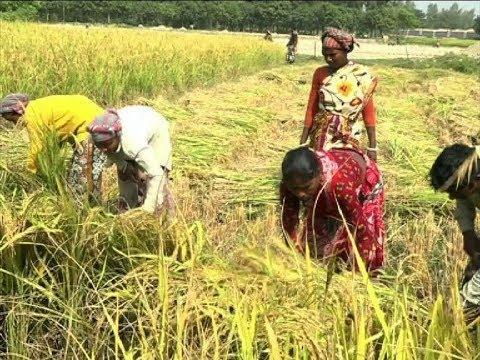 ফলন ভালো হলেও ধানের বাজার দরে হতাশ চাষিরা | Paddy of Bangladesh | Somoy TV