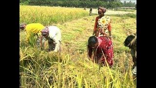 ফলন ভালো হলেও ধানের বাজার দরে হতাশ চাষিরা | Paddy of Bangladesh | Somoy TV thumbnail