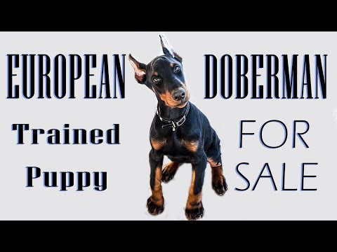 EXCEPTIONAL Pre-Trained European Doberman Puppy For Sale - Working or Family Prospect 2017