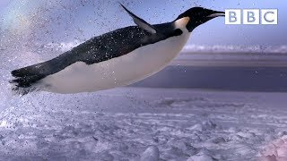 How does a penguin launch itself from the sea? - The Wonder of Animals | BBC