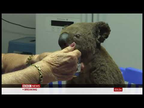 Weather Events 2019 – Saving koalas in bush fires (Australia) – BBC – 20th November 2019