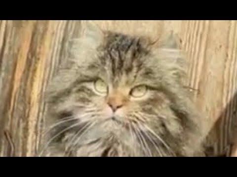Пушинка и Чернуха умные деревенские кошки / Fluff and Blackie are smart country cats