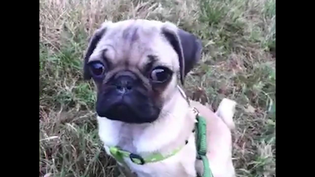 Doug the pug as a puppy youtube doug the pug as a puppy m4hsunfo