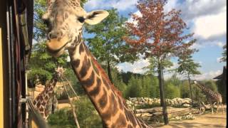 Giraffe in the lost valley of the Everland!!