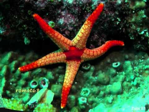 Como se denomina la reproduccion asexual de las estrellas de mar