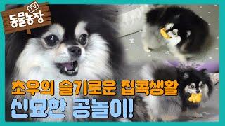 '초우'의 슬기로운 집콕생활! 차원이 다른 공놀이★ I TV동물농장 (Animal Farm) | SBS St…
