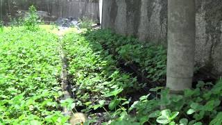 Кассетная Рассада клубники Мадлен(, 2014-07-17T06:35:44.000Z)