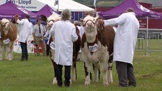 Pencampwriaeth Gwartheg y Dyfodol | Future Beef Champion