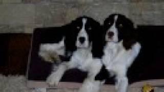 Springer Spaniel Puppy slide show
