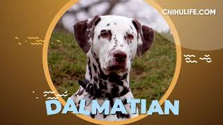Dalmatian Breed Info and Facts
