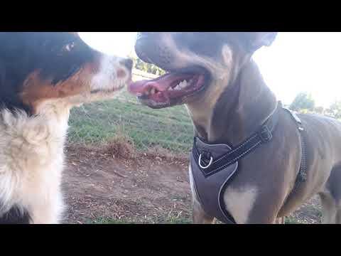 Australian Shepherd Puppy Dog Park Cuteness Overload
