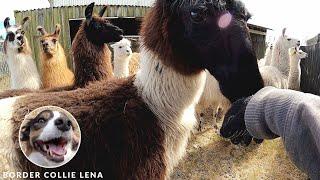 Why do we have Llamas and Alpacas?  Border Collie Kiss  Lena Land [2.7K]