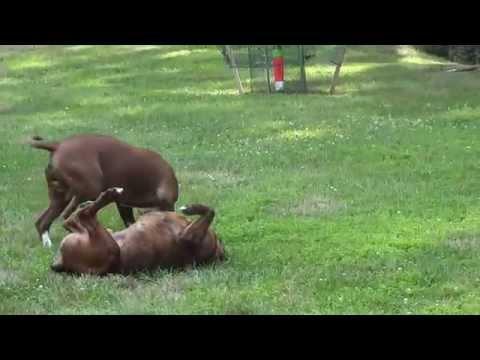 Bulldog Vs Boxer