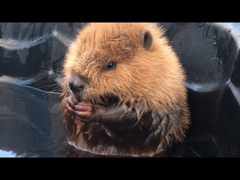 Adorable injured baby beaver rescued, rehabilitated and released in Alberta