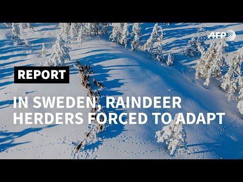 AFP News Agency: Climate change forces Sami reindeer herders to adapt   AFP