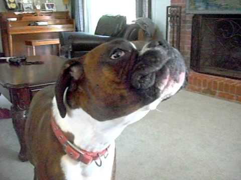 Molly the talking Boxer