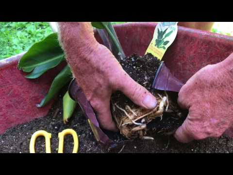 repotting a BIRD OF PARADISE plant (give it the best chance of survival)