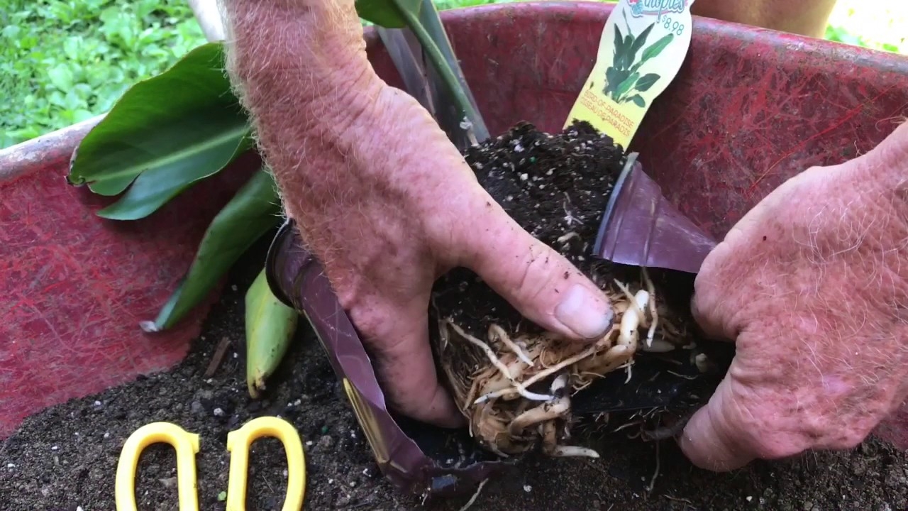 Repotting A Bird Of Paradise Plant Give It The Best Chance Survival