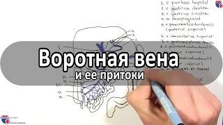 Воротная вена и ее притоки - meduniver.com