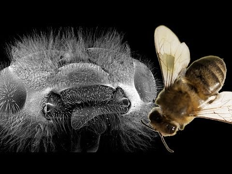 Micro-Science: The Honey Bee | Earth Unplugged