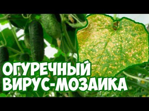 Вирус огуречный мозаики 🥒 Способ лечения огурцов 👍 сад и огород с Хитсад