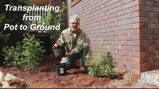 How to Transplant Pląnts from Pot to Ground