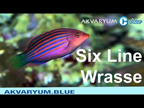 Six Line Wrasse - Pseudocheilinus Hexataenia - Altı Çizgili Lapin