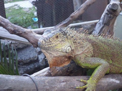 ¿CÓMO SABER SI MI IGUANA ESTA ESTRESADA?/ Síntomas de estres en tu iguana!!!!