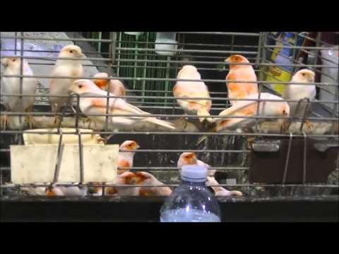 CANADIAN NATIONAL CAGE BIRD SHOW & EXPO 2014 FULL TOUR