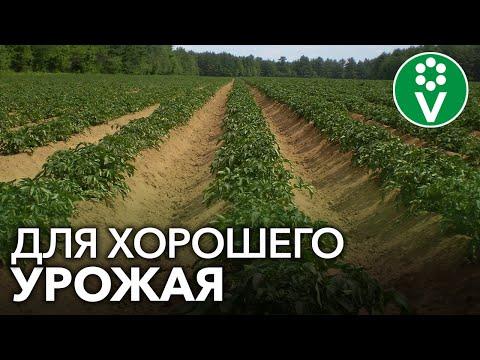 ОБРАБОТАЙТЕ ЭТИМ БОТВУ КАРТОФЕЛЯ перед уборкой урожая!