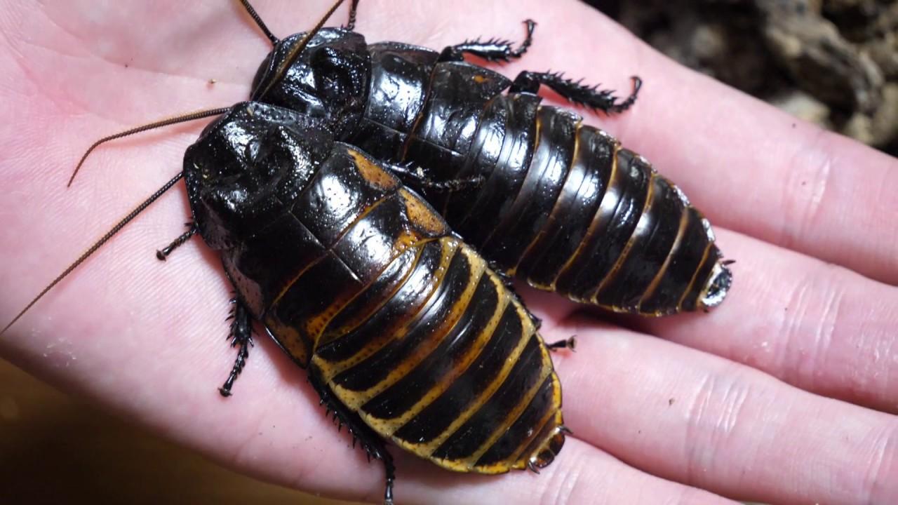 ゴキブリ マダガスカル
