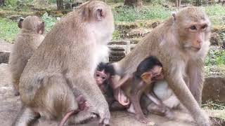 Cute baby, Baby monkey Rey & friend happy playing on the stone,
