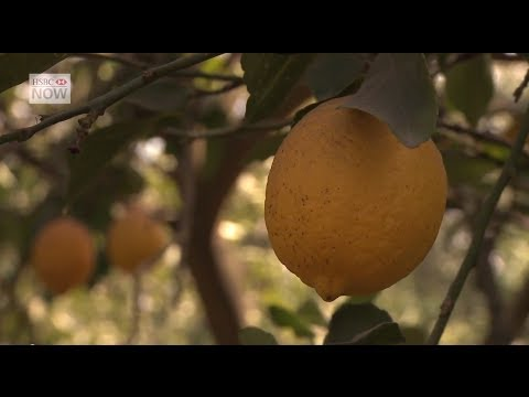 Lemon Growers Branch Out