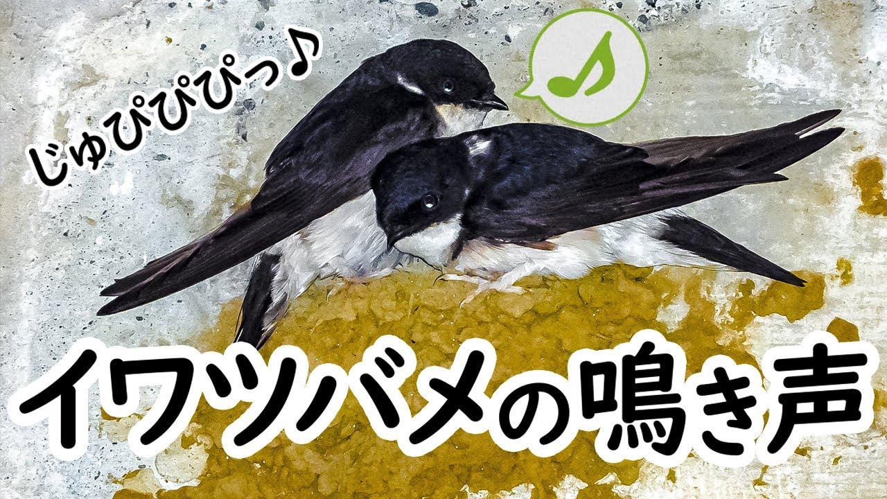 【野鳥の鳴き声図鑑】イワツバメの鳴き声01 コンクリート橋の下に巣作り【身近な生き物語】House Martin / Delichon dasypus