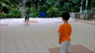 Dog Training Video Singapore - Isaac In Open Class