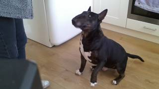 Axel Miniature English Bull Terrier finally catches treat!! Its a miracle!