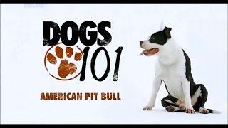 Порода собак Американский питбультерьер
