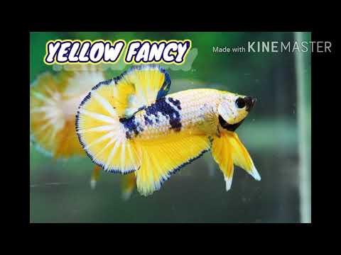 Jenis Ikan Plakat