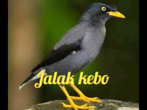 Suara Pikat Burung Jalak Kebo Mantap Youtube