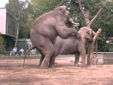 voi lấy đực.flv